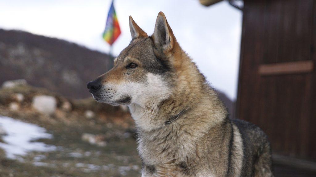 Un cane lupo nel rifugio La Cicerana